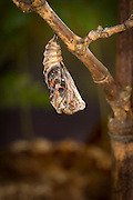 A painted lady butterfly (Vanessa cardui) emerging from its chrysalis.