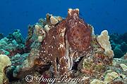 day octopus, common reef octopus, or big blue octopus, Octopus cyanea, in mottled reddish brown color pattern, on coral reef, Kohanaiki, North Kona, Hawaii Island ( the Big Island ), Hawaiian Islands, U.S.A. ( Central Pacific Ocean )