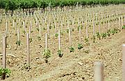 recently planted vines chateau de castelnau entre deux mers bordeaux france