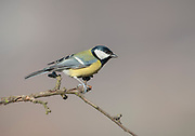 Great Tit, Parus major, Near Mirkovo Village, Bulgaria, perched on branch, winter,  passerine bird in the tit family Paridae