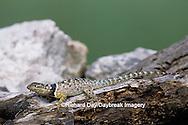 02617-00111 Blue Spiny Lizard (Sceloporus serrifer) Starr Co. TX