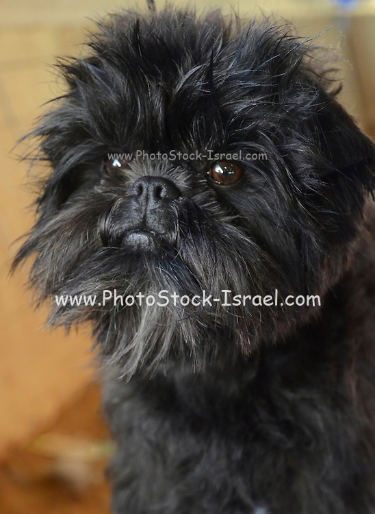 The Affenpinscher (translated from German as Monkey-Terrier) is a peppy dog that has the face and impish nature of a monkey. This wire-haired terrier-like breed acts like a bigger dog as he proudly struts around. The coat of an Affenpinscher is usually black,
