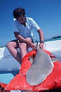 biologist Guido Dingerkus draws a blood sample from the caudal vein of a live lemon shark, Negaprion brevirostris, captured in University of Miami research program, Bahamas ( Western Atlantic Ocean )