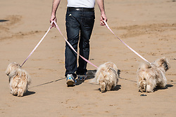A man walks with three pedigree dogs on Fistral Beach in Newquay, Cornwall.