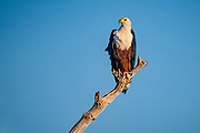 African fish eagle (Haliaeetus vocifer) perched on a tree. with a brilliant blue sky background. This bird is found in sub-Saharan Africa near water. The female, the larger of the sexes, has a wingspan of up to 230 centimetres. The African fish eagle spends most of the day perching in a high tree near water. From this perch it will swoop down on fish, catching them with its feet. Although the majority of its diet consists of fish, the African fish eagle also feeds on flamingos and other water birds, as well as carrion. Photographed at Lake Kariba, Zimbabwe