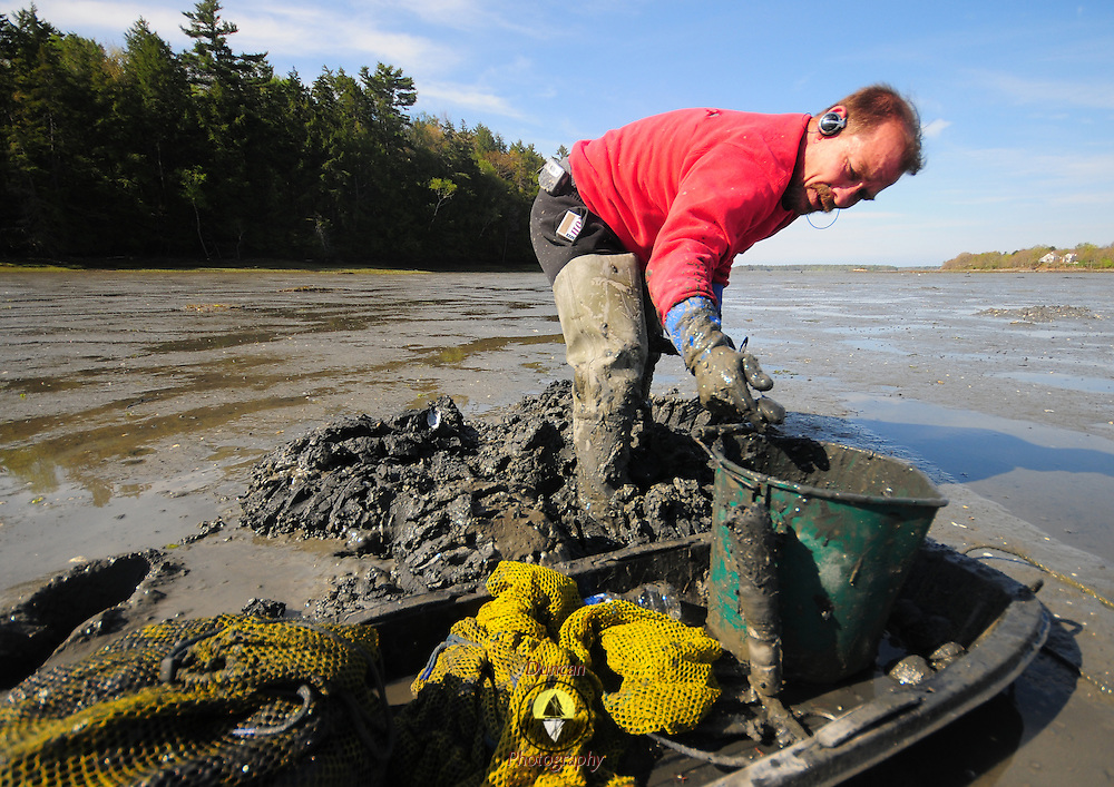 5/14/09 -- HARPSWELL, Maine. Ken Bailey, 52, a Brunswick resident with a Harpswell, non-resident license pitches a clam into his bucket while clam digging in Middle Bay on Thursday morning. Photo by Roger S. Duncan.