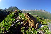Common frog, grass frog (Rana temporaria). High Tauern National Park (Nationalpark Hohe Tauern), Central Eastern Alps, Austria | Grasfrosch (Rana temporaria) auf einer Moräne (von einem Gletscher aufgeschobenes Geröll) Nationalpark Hohe Tauern, Osttirol in Österreich