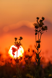 Sunflower and other assorted wildflowers at sunset, Blackland Prairie, High Point Park and Wildflower Preserve, Farmersville, Texas, USA.