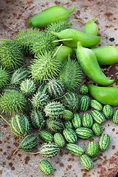 Gooseberry cucumber, Cyclanthera pedata , Cucumis zeyheri, Zehneria scabra, Cucumis myriocarpus. Cucumis Deco Fruits Mixed