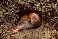 Deutschland, DEU, Cuxhaven: Goldhamster (Mesocricetus auratus) zwängt sich durch ein Loch in seinen unterirdischen Bau.   Germany, DEU, Cuxhaven: Golden hamster (Mesocricetus auratus) squeezing through a hole in its subterranean burrow.  