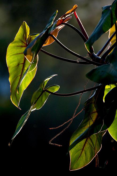Brumadinho_MG, Brasil...Museu de Arte Contemporanea de Inhotim (CACI). Na Foto detalhe de uma folhagem...The Inhotim Contemporary Art Museum (CACI). In this photo, detail of a foliage...Foto: JOAO MARCOS ROSA / NITRO..