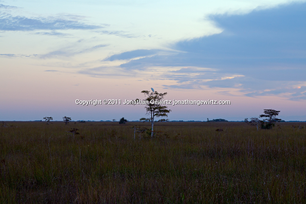 An egret perches in a tree on the sawgrass prairie, looking East from the Pa-hay-okee Overlook, a few minutes before sunrise in Everglades National Park. WATERMARKS WILL NOT APPEAR ON PRINTS OR LICENSED IMAGES.