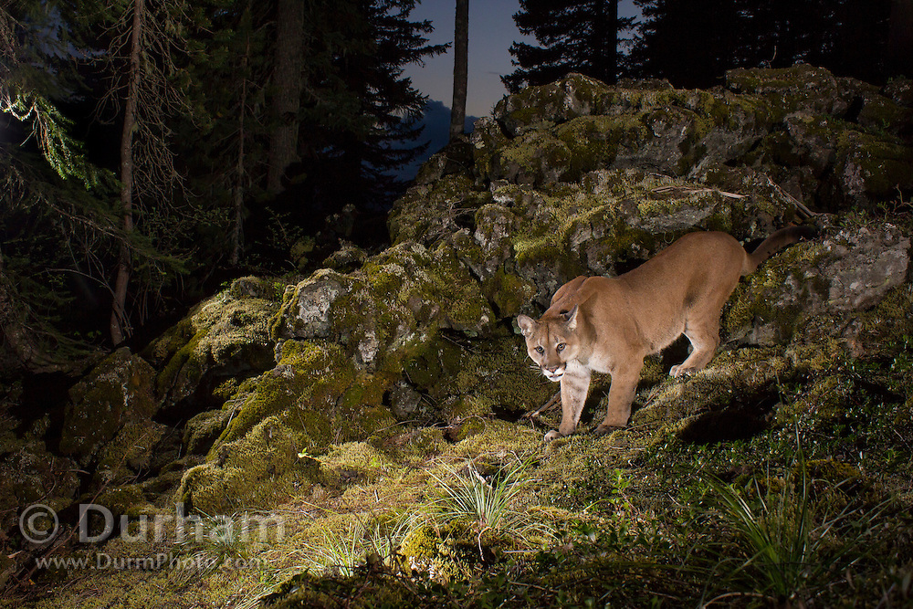 A wild Mountain Lion (Puma concolor), photographed at night in the Wind River National Forest, Washingon, part of the Gifford Pinchot National Forest.