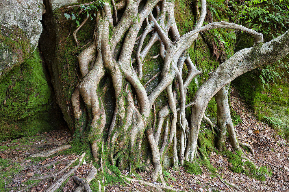 Tree roots spread out and nearly cover the face of a rock outcropping near Minister Valley in the Allegheny National Forest, Warren County, Pennsylvania.