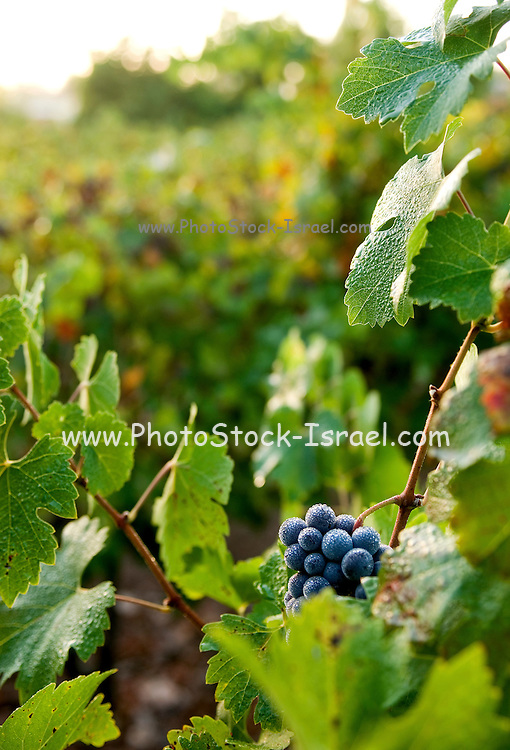 Israel, Vineyard, Close up of a cluster of ripe grapes on a vine