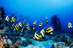 Heniochus intermedius, Schwarm Rotmeer Wimpelfisch,  Wimpelfische, School of Red Sea Bannerfish, St. Johns Riff Reef, Rotes Meer, Ägypten, Red Sea Egypt
