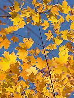 Maple trees in full autumn foliage Green Mountains Vermont USA