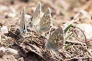 Male adonis blue butterflies. Isle of Purbeck, Dorset, UK.