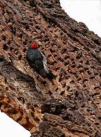 Red Headed Woodpecker (Northern Pileated Woodpecker). Loading acorns in a dead tree for winter in Yosemite Valley.