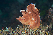 An unusual member of the Scorpionfish family that is rarely observed.  A bottom dweller that uses stealth and ambush tactics to capture its prey