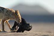 Black backed jackal (Canis mesomelas) attacks Cape Fur Seal pup (Arctocephalus pusillus), Tsau-ǁKhaeb-(Sperrgebiet)-Nationalpark, Namibia | Schabrackenschakal (Canis mesomelas) erbeutet Kap-Pelzrobbe (Arctocephalus pusillus pusillus), auch Südafrikanischer Seebär genannt. Sperrgebiet National Park, Namibia