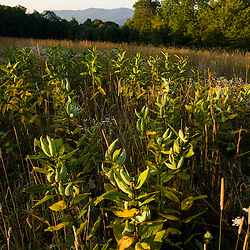 Milkweed in a field on the summit of Wilson Hill in Deering, New Hampshire.  Society for the Protection of New Hampshire Forests' High Five peserve.