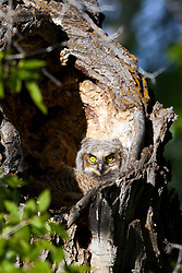 Great Horned Owl chicks in Nest, Jackson Hole Wyoming