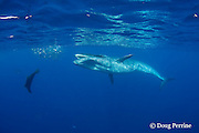 Bryde's whale, Balaenoptera brydei or Balaenoptera edeni, approaches baitball of sardines, Sardinops sagax, to feed with California sea lion and striped marlin, off Baja California, Mexico ( Eastern Pacific Ocean ) #1 in sequence of 5