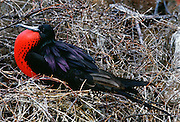 Male Frigate bird with inflated pouch, Galapagos Islands, Ecuador