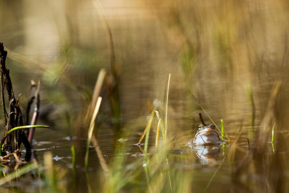 Moor frog (Rana arvalis) a member of the family Ranidae, or true frogs. Åkergroda.<br /> Location: Måryd, Skåne, Sweden