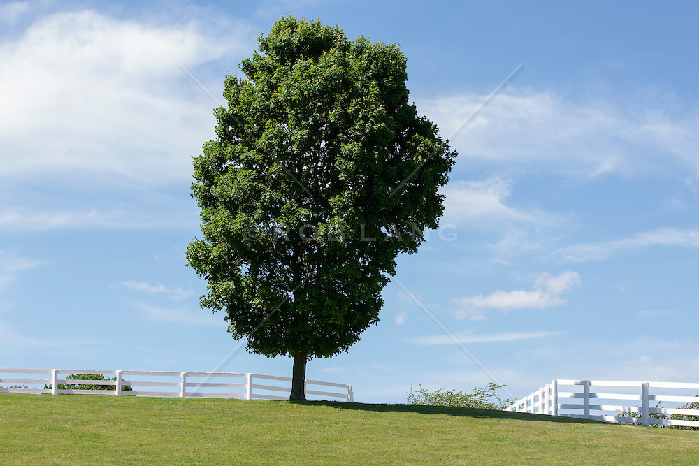 large tree and white fences on a ranch in New Jersey