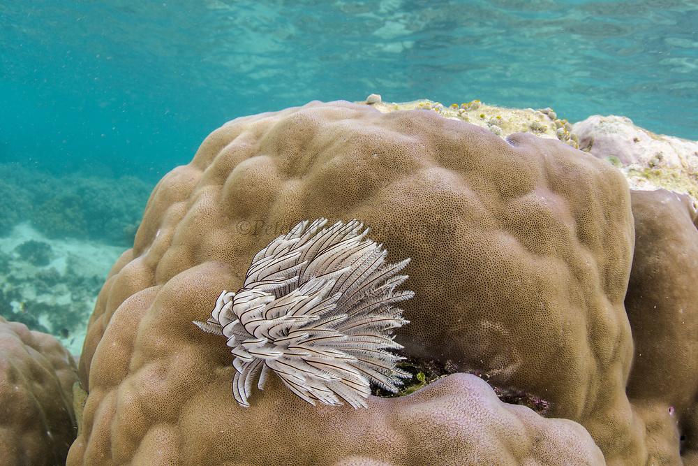Feather Duster Worm (Sabellastarte sanctijosephi)<br /> Raja Ampat<br /> West Papua<br /> Indonesia