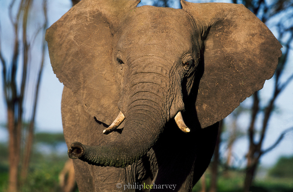 A majestic African elephant seen at dawn in the Serengeti National Park, Tanzania