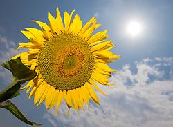 13.07.2010, Sommer, im Bild Sonnenblume mit Sonne am blauen Himmel und leichter Bewölkung, EXPA Pictures © 2010, PhotoCredit: EXPA/ Erwin Scheriau
