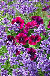 Nemesia Myrtille = 'Fleurmyr' (dark blue) with Petunia ? Check id
