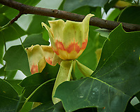 Tulip Tree flowers. Image taken with a Nikon Df camera and 70-300 mm lens