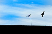 A turkey vulture flies over a  tattered Stars and Stripes  in a field in Rockingham County Virginia.