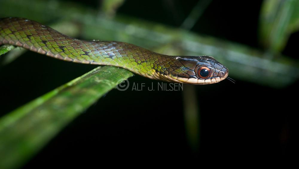 Long Forest-Racer (Dendrophidion prolixum) from LaSelva, Ecuador.