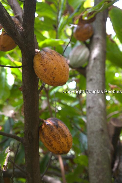 Cacoa tree, Vaipaee Community Botanical Garden, Ua Huka, Marquesas Islands, French Polynesia<br />