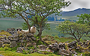Dartmoor blackface ewe and lambs standing on stone wall with hawthorn trees in typical Dartmoor landscape with tors, Devon, U.K.