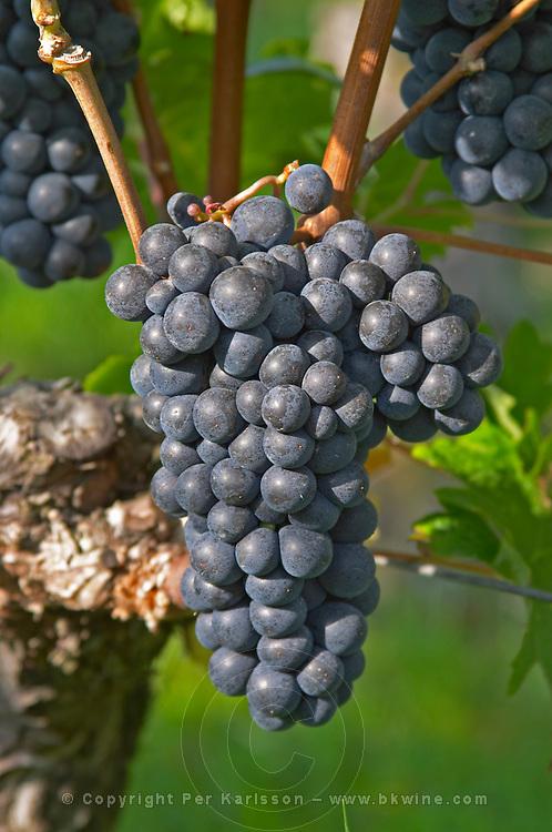 Bunches of ripe grapes. Cabernet Franc. Chateau Gaillard, Saint Emilion, Bordeaux, France