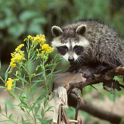 Raccoon, (Procyon lotor) Young raccoon sitting on broken tree limb. Golden rod and white asters blooming.  Captive Animal.