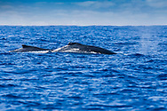 Two Humpback Whales of the coast of Kona Hawaii