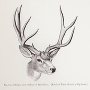 Oblique head of the mule deer (Odocoileus hemionus) is a deer indigenous to western North America; it is named for its ears, which are large like those of the mule. from the book ' The deer of all lands : a history of the family Cervidae, living and extinct ' by Richard Lydekker, Published in London by Ward 1898