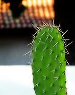Prickly Pear ~ Nopales Cactus ~ Mission Santa Cruz