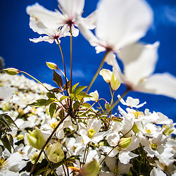 Clematis, 9th June 2015