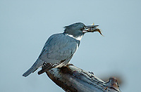 Belted Kingfisher (Ceryle alcyon), close to Harbour wall at Comox dock with fish (sculpin?) in mouth   Photo: Peter Llewellyn