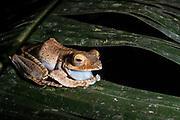 Endemic frog (Boophis madagascariensis)<br /> East Madagascar<br /> Mantadia National Park<br /> MADAGASCAR<br /> ENDEMIC