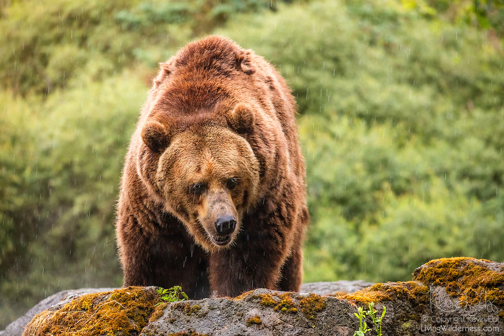 A captive brown bear (Ursus arctos) climbs on a rock during a rain storm in a forested area of the Pacific Northwest. Brown bears are the largest land-based preditors and are found across northern North America, Europe and Asia.
