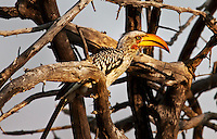 Exotic bird with orange bill and sharp eyes sitting on dry branches with a dusty-blue sky in the background. Near Pamushama Lodge, Zimbabwe, Africa. Nature photography wall art. Fine art photography prints.
